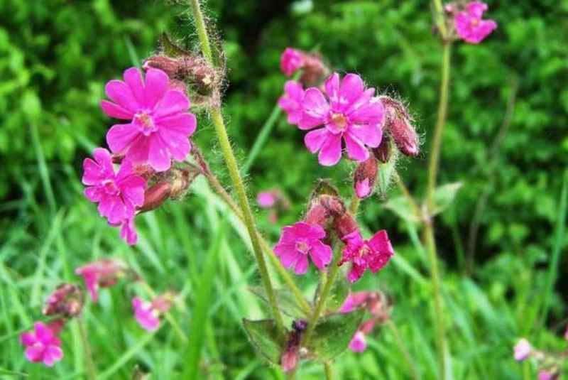 Растение Смолевка: фото, виды, выращивание, посадка и уход в саду