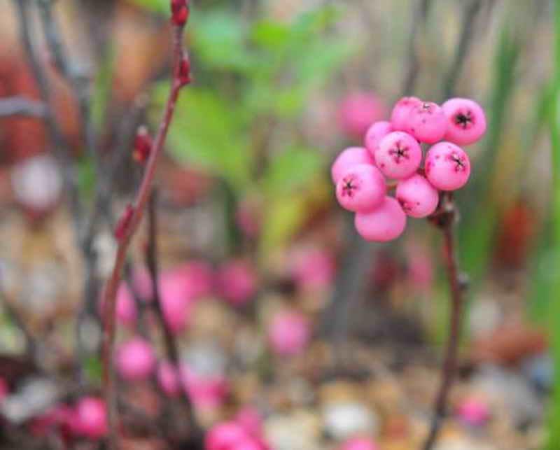 Рябина: виды, выращивание, посадка и уход