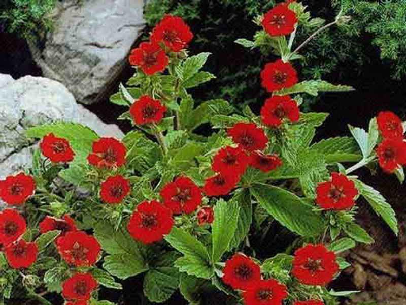 Растение Лапчатка / Потентилла: фото, виды, выращивание, посадка и уход