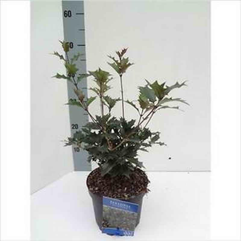 Растение Османтус: фото, виды, выращивание, посадка и уход в открытом грунте