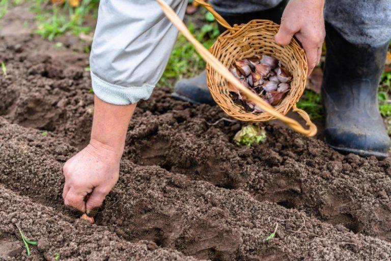 Основные правила посадки чеснока под зиму