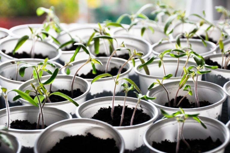 Как подкармливать рассаду томатов на подоконнике?
