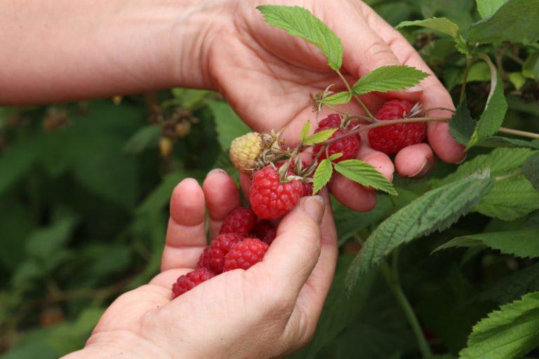 Почему ремонтантная малина созревает поздно, её ягоды кислые и безвкусные