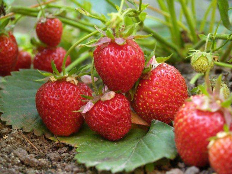 Полезные соседи для клубники: что лучше всего посадить рядом с ягодой