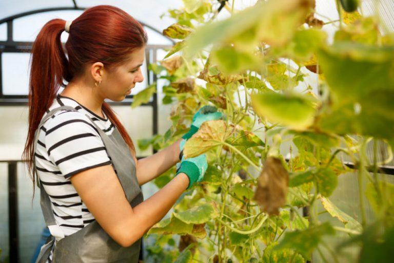 Почему у огурцов желтеют края листьев и что с этим делать