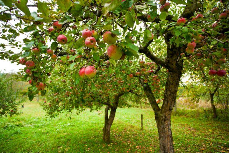 Большой урожай яблок будет следующим летом