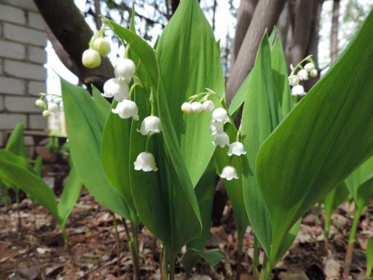 10 видов растений, которые нельзя сажать в саду