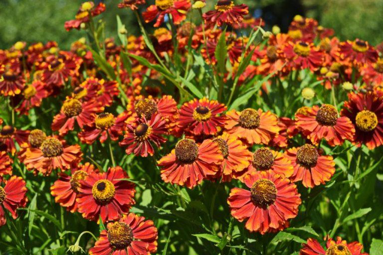 5 самых красивых цветов, которые украсят огород осенью