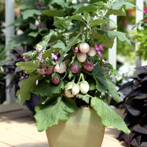 5 сортов мини-овощей для украшения балкона