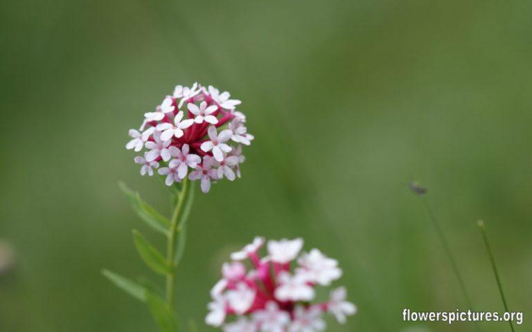 Мой серебряный сад – 10 растений с серебристыми листьями