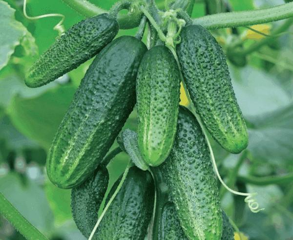5 лучших сортов огурцов для теплицы