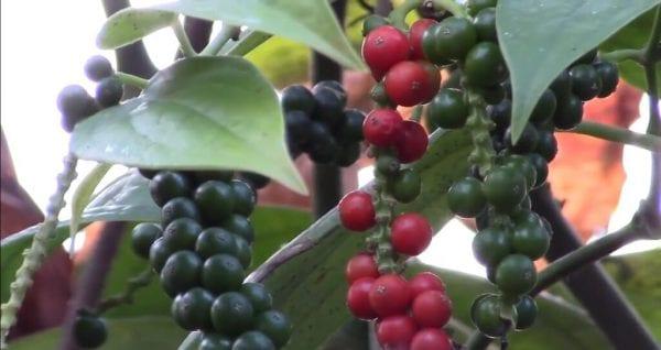 Секреты выращивания черного перца дома: от получения рассады до сбора урожая
