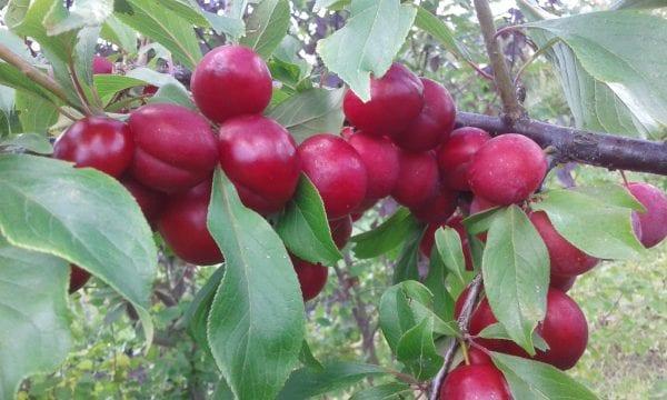 5 сортов зимостойкой сливы для Алтая и Западной Сибири