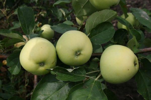 3 сорта яблок, которые исчезают из наших садов