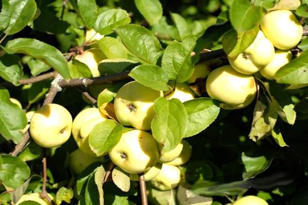 Периодичность плодоношения садовых яблонь и груш: причины, профилактика и способы решения проблемы
