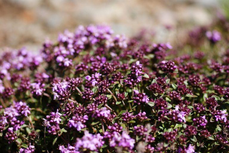 8 ароматных растений для огорода