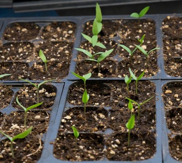 Как вырастить и получить урожай острого перца: пошаговая инструкция