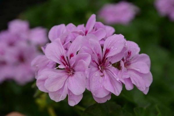 Удобрение для герани с йодом или как добиться обильного цветения