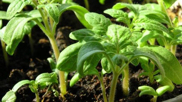 Сеем томаты. 3 составляющих фактора здоровой рассады