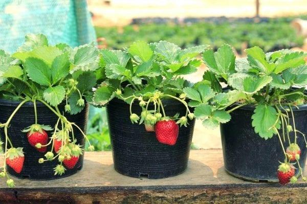 Клубника на подоконнике выращивание