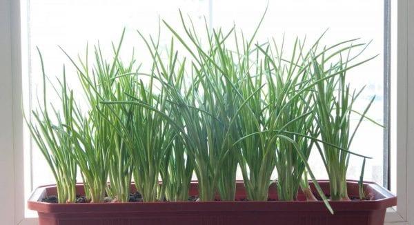 10 огородных культур, которые легко можно вырастить в домашних условиях