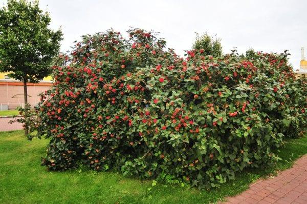 Декоративные, цветущие кустарники для сада. 7 лучших видов