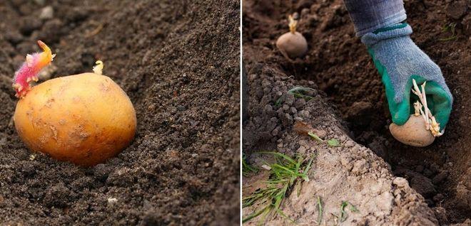 Высадка картошки в прогретый грунт