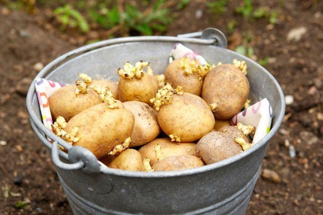 Картошка на посадку в ведре