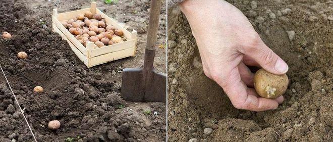 Посадка картошки рядами под лопату