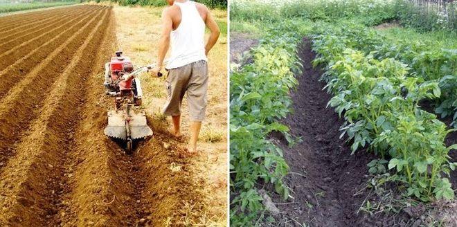 Посадка картошки укоренением в гребни