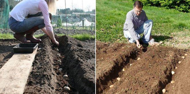 Посадка картошки укоренением в траншеи