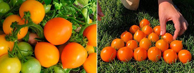 Сорт помидоров Утенок