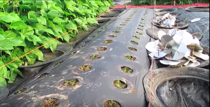 В чем заключается американский способ выращивания моркови
