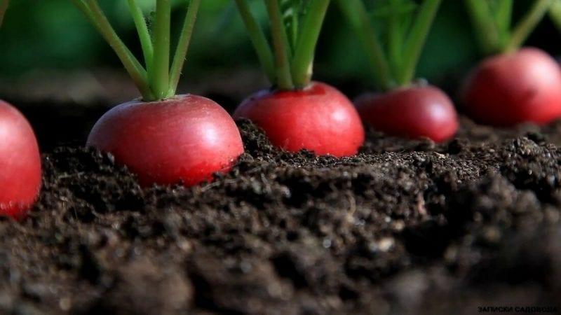 Как вырастить хороший урожай редиски в открытом грунте