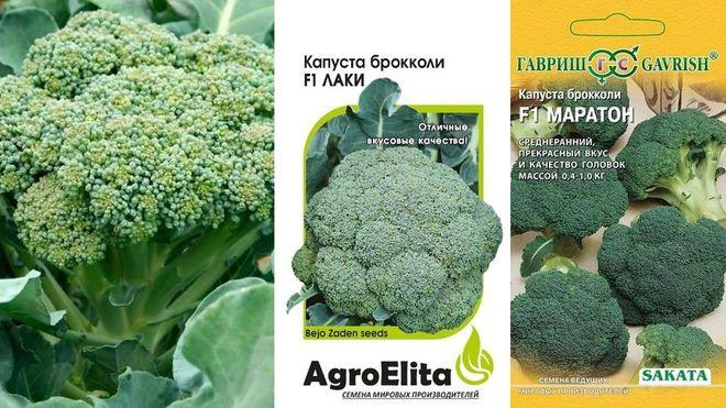 Урожайные сорта капусты брокколи