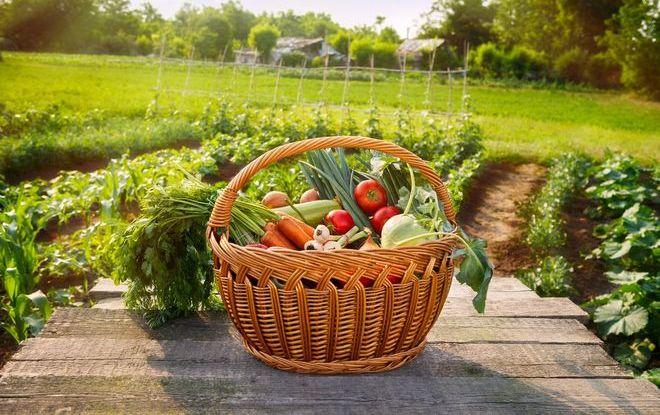 Урожай с огорода в корзине