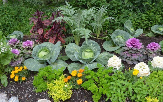 Совместные посадки капусты и цветов
