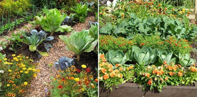 Совместные посадки цветов и овощей