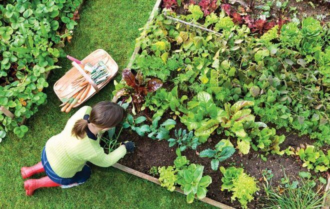 Благоприятное соседство овощей на грядке