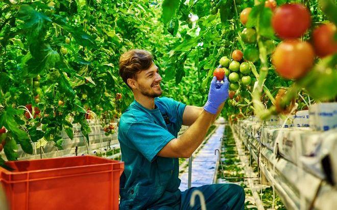Мужчина собирает урожай помидор