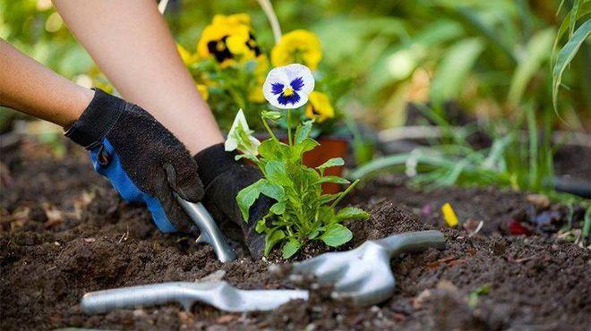 Посадка рассады цветов