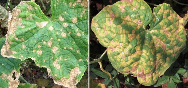 Кладоспориоз на листьях огурцов