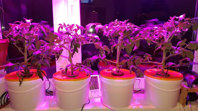 Рассада томатов под лампой