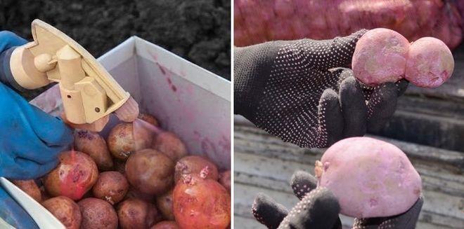 Обработка клубней картошки перед посадкой