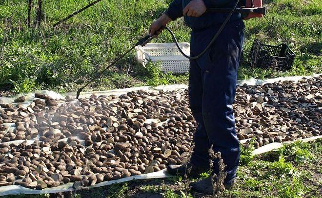 Обработка картофеля до посадки в грунт