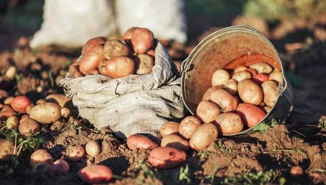 Чем обрабатівать картошку перед посадкой