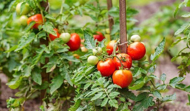 Как выглядят штамбовые помидоры