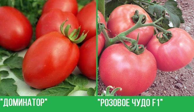 Самые лучшие сорта штамбовых помидоров