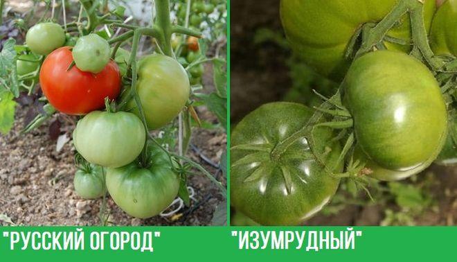 """Сорта томатов """"Русский огород"""" и """"Изумрудный"""""""