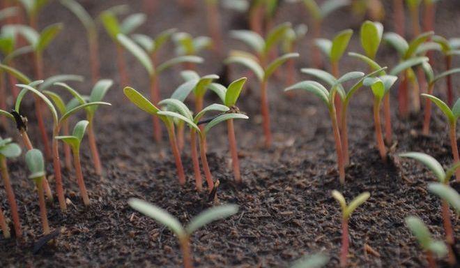 Прорастание семян помидоров